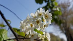 Flowers of white bird cherry. Flowers of white bird cherry in the spring Stock Photos