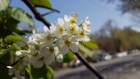 Flowers of white bird cherry. Flowers of white bird cherry in the spring Stock Photo