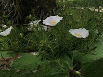 Flowers. White flowers blooming under the sun Stock Photography