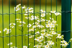 Flowers with white blooms behind the fence. Some flowers with white blooms behind green metal fence. Green meadow on background Royalty Free Stock Photography