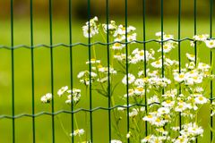 Flowers with white blooms behind the fence. Some flowers with white blooms behind green metal fence. Green meadow on background Stock Photo