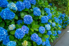 Flowers in white and blue, Hortencias, blossom at Hakone town in Japan stock image