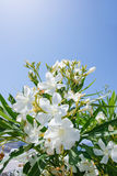 Flowers. The white flowers with blue sky Royalty Free Stock Photography