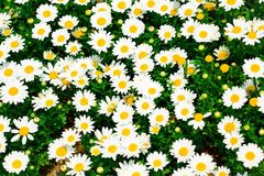 whitel, chamomile, flowers, chrysanthemum, wildflowers, background, wallpaper royalty free stock photos