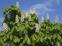 Flowers of white chestnut Stock Photos