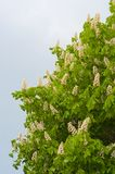 Flowers of white chestnut tree on sky Stock Photos