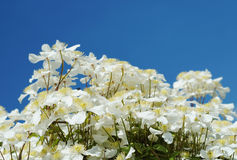 white clematis Royalty Free Stock Images