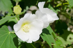 Flowers of white confederate rose Stock Images