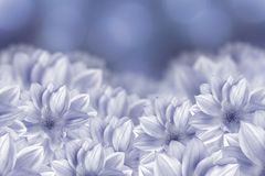 Flowers are white dahlias on a blue bokeh background. Flower composition. Stock Photo