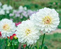 Flowers white dahlias Stock Photo