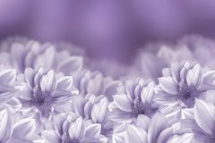 Flowers are white dahlias on a purple background. Flower composition. Stock Images
