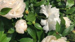 Flowers of the white dahlias. White Flowers of the white dahlias in spring garden