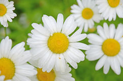 Flower background white daisies close-up on blurred green Royalty Free Stock Image