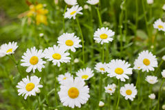 The flowers are white daisies on the field. Summer Daisy flowers on a background of green grass Stock Photo