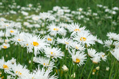 Flowers white daisies Royalty Free Stock Image