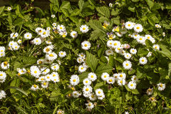 Flowers white daisies with green leaves Royalty Free Stock Photo