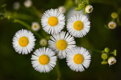 Flowers of white Erigeron Royalty Free Stock Photo