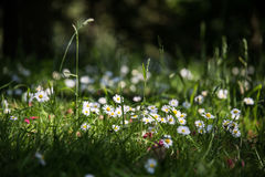 Flowers. White flowers on the field Royalty Free Stock Photo