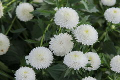 Flowers. White flowers field is beautiful Royalty Free Stock Photos
