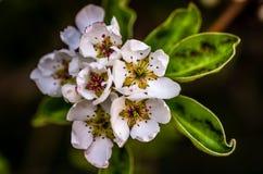 Flowers. White flower  apple Stock Photography