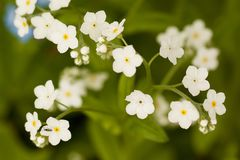 Flowers of white forget-me-nots. Beautiful little white flowers forget-me-nots Royalty Free Stock Photography