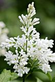 Flowers white funerals royalty free stock photography
