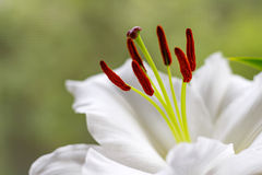 Flowers of a white garden lily closeup Royalty Free Stock Photos