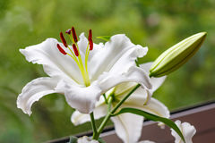 Flowers of a white garden lily closeup Royalty Free Stock Photo