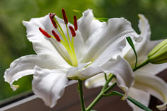 Flowers of a white garden lily closeup Stock Photos