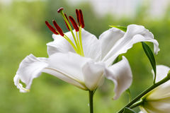 Flowers of a white garden lily closeup Stock Photography