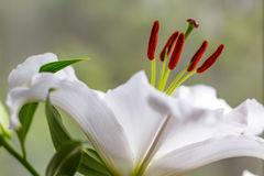 Flowers of a white garden lily closeup Royalty Free Stock Image