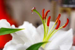 Flowers of a white garden lily closeup Royalty Free Stock Photography