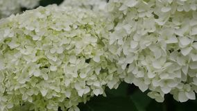 Flowers of White Hydrangea Closeup. the Movement of the Camera Along the Large White Flowers and Hydrangeas. Flowers of White Hydrangea Closeup. the Movement of stock video footage