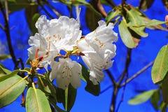 Flowers of white Japanese Sakura. Cherry blossom of spring in the botanical garden Royalty Free Stock Photography