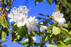 Flowers of white Japanese Sakura. Cherry blossom of spring in th Royalty Free Stock Photography