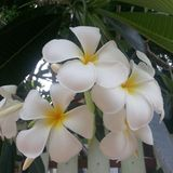 Flowers. White Leelawadee at my home Rayong Thailand Stock Photos