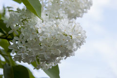 Flowers white lilac Stock Images
