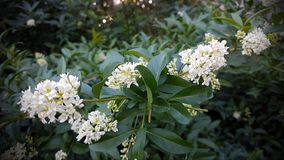 Flowers of white lilac. Branches with white lilac flowers among the green leaves, on a spring morning Stock Images
