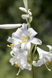 Flowers of white Lilium candidum blooming in the garden Stock Photos