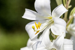 Flowers of white Lilium candidum blooming in the garden Royalty Free Stock Photos