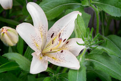 Flowers of a white lily close up. Large flowers white lilies bloom among green leaves. Presents closeup Stock Photography
