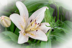 Flowers of a white lily close up. Large flowers white lilies bloom among green leaves. Presents closeup Royalty Free Stock Photos