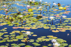 Flowers white lotuses in the pond Royalty Free Stock Photo