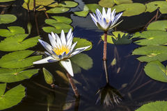 Flowers white lotuses in the pond Stock Photography