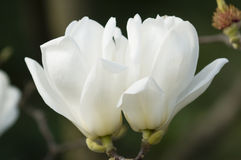 Flowers of white magnolia i Stock Photos