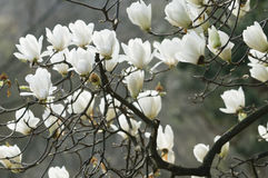 Flowers of white magnolia i Royalty Free Stock Photo