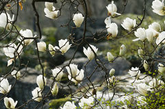 Flowers of white magnolia i Royalty Free Stock Photos
