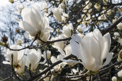 Flowers of white magnolia i Stock Photo
