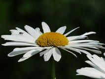 Flowers, White, Meadows Margerite Stock Photos