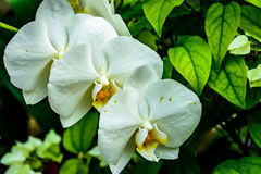 Flowers of white orchid. Stock Photo